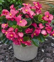Begonia Wax Rose | Semperflorens Rose Flower | 100 Seeds - $9.99