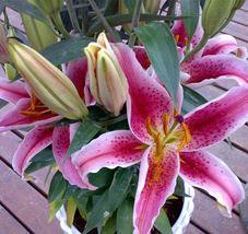 20 pcs Rare Flower Seeds Perfume Lily Flower Sementes Home Gardening Creepers - $2.00