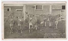 Jersey Heifer Cow Farm Lowell MA 1907c postcard - $6.93
