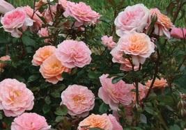 2 Gal Apricot Drift New Groundcover Rose Shrub Plants Outdoor Garden D08 - $135.99