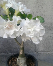 2pcs 'Bai Nangzi' White Wrinkled Adenium Desert Rose Very Beautiful IMA1 - $14.99