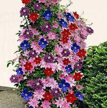 bonsai Bonsai Clematis flower Wire Lotus Plant Multicolor Clematis-50pcs... - $2.79