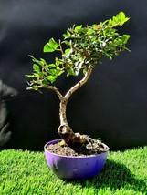 Bonsai Pistacia lentiscus tree Mastic Tree - Pistachier Lentisque 14 years old - $95.97