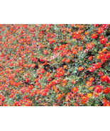 SHIP FROM US 300 Wine Red TETRA VERSAILLES COSMOS Bipinnatus  Seeds SBR4 - $12.00