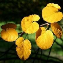 SHIP FROM USA 100+ Virginia Roundleaf Birch Tree Seeds (Betula Lenta Uber) UDS - $36.68