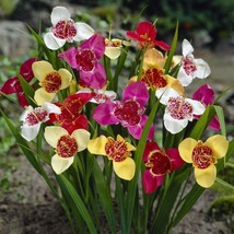 20 Bulbs - Mix Tiger Flowers - Tigridia pavonia - $49.49
