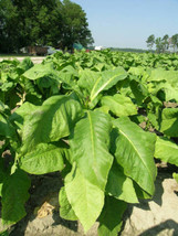 1,000 Organic Virginia Tobacco Heirloom Seeds - $4.99
