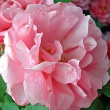 Qiao San' Big Pink Turbine-like Climbing Rose Plant, 50 seeds, climber g... - $4.54
