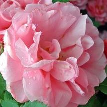 Qiao San' Big Pink Turbine-like Climbing Rose Plant, 50 seeds, climber g... - $19.99