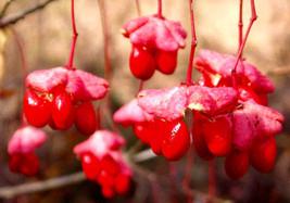 4 Variety Seeds -  Wahoo Burning Bush Euonymus Atropurpurea Tree Seeds #TSP - $16.99+