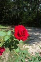 Don Juan Climbing RED Rose 3 Gal. Upright Plant Disease Resistant Fragrant Roses - $53.30