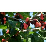 Dwarf Everbearing Mulberry get fruit right away Live Plant Free shipping - $15.75