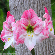 Pink & White Hippeastrum Amaryllis Bulbs Potted Flower Lily Bonsai Plants - $5.45