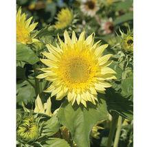 Starburst Lemon Aura Sunflower Seed, Sunflower Seeds - $21.00