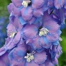 50+ Consolida Fancy Blue and Purple Delphinium / Perennial Flower Seeds - SBS - $33.95