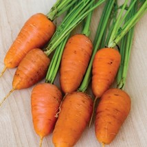 Carrot Seeds - Royal Chantenay Outdoor Living - Vegetable Seeds -  Free Shipping - $29.99+