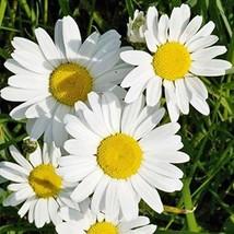 Non GMO Bulk Ox-Eye Daisy Flower Seeds Chrysanthemum leucanthemum (50 Lbs) - $1,980.94