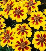 75 Pcs Dwarf Marigold Seeds, Dainty Marietta, French Marigolds, Heirloom... - $13.99