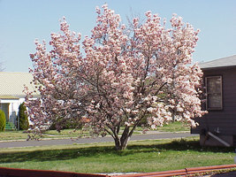 "Saucer Magnolia Soulangeana 2 1/2"" pot shrub/tree image 3"