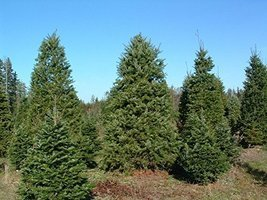20 Seeds Douglas Fir Tree Seeds Pseudotsuga menziesii - $10.88