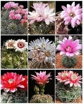 25 Seeds GYMNOCALYCIUM Variety Mix - $13.86