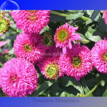 Imported 'Piccolino Bear' Echinacea, 100 Seeds, pink color big blooms very inter - $7.00