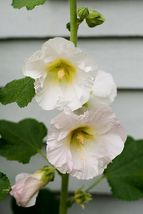 25 White Hollyhock Old Fashioned Flower Seeds - $5.20