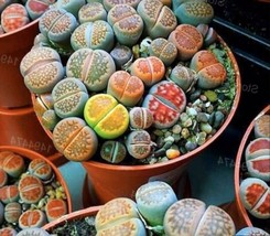 Lithops Rare Living Stones Plant Succulent Cactus Fresh 50 Viable Seeds +Gift ! - $21.68