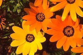 200 Mix African Daisy Seeds Hardy Butterflies U.S. grown - $7.99