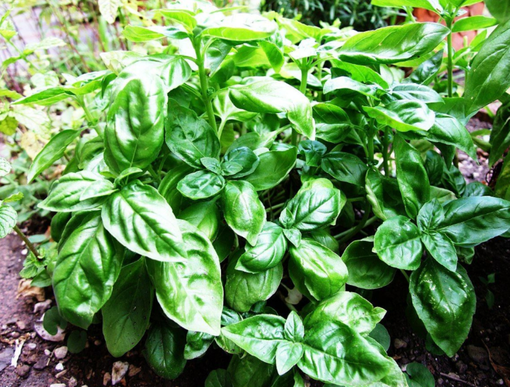 Primary image for 10 Pcs Seeds Basil Ocimum Basilicum Tree - DL