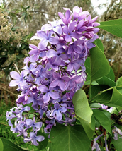 Common Lilac - Flowering Shrub Healthy Established - 1 Plant in a 1 Gall... - $55.00