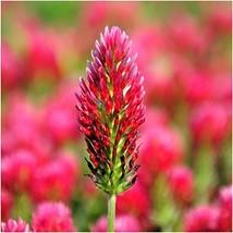 Package of 4,000 Seeds, Crimson Clover Trifolium incarnatum Open Pollina... - $8.12