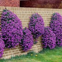 Rockcress Cascading Purple Flower 100 Seeds #UDS14 - $22.17