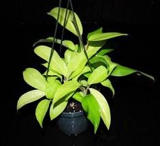 """5"""" Hanging Neon Philodendron Golden Emerald Tropical Houseplant Indoor/Outdoor  - $77.99"""