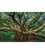 Pipiwai Banyan in Maui, Fine Art Photos, Paper, Metal, Canvas Prints - $40.00 - $442.00