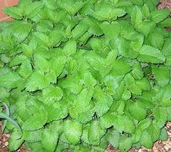 250 Seeds Lemon Balm Melissa officinalis - $19.96
