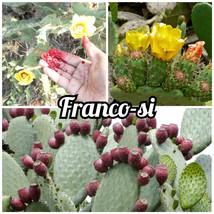 Opuntia ficus-indica - gelb Kaktusfeigen * 1 Pflanzenpolster - $8.10