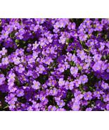 550 bulk seeds - aubrieta rock cress purple aubrieta hybrida hendersonii  - $43.88