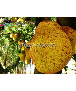 Buy 1 get 1 Rare Hot 5pcs Japan Fresh Jackfruit Seeds Miracle Fruit Seed  - $18.00
