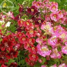 BEST PRICE 30 Seeds Red Purple Schizanthus Flowers,DIY Flower Seeds E3808 DG - $4.99