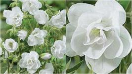 189 - 20 Double White Geranium Seeds Flowers Perennial Flower Seed Bloom – RR01 - $23.95