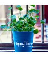 10 Seeds Loss Promotion!Pilea seeds,DIY potted plants,indoor / outdoor p... - $3.99