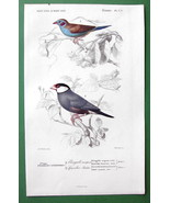 BIRDS Crimson Waxbill & Java Sparrow - H/C SUPERB Color Antique Print - $18.36
