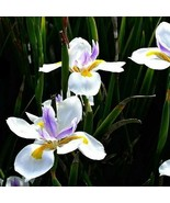 Dietes grandiflora - Fortnight Lily 25 seed - $11.99