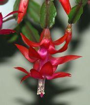 3 Cuttings - Red Cactus Schlumbergera Succulent - $29.00