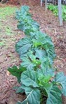 Collard Green Seed, Champion, Heirloom, Non GMO, Organic, 50+ Seeds, Greens - $4.00