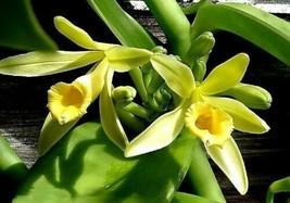 Vanilla Planifolia - 'Vanilla Orchid' - live Vanilla bean vine - $33.43