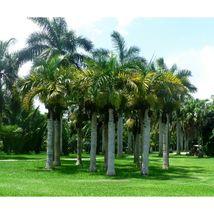 Spindle Palm Hyophorbe verschaffeltii 10 Seeds GTL09 - $28.17
