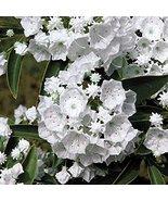 Starter Plant Kalmia Latifolia 'Pristine' Mountain Laurel - $20.78