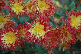 "2.5"" pot chrysanthemum MATCHSTICKS hardy mum shasta daisy 1 Live Potted Plant - $32.99"